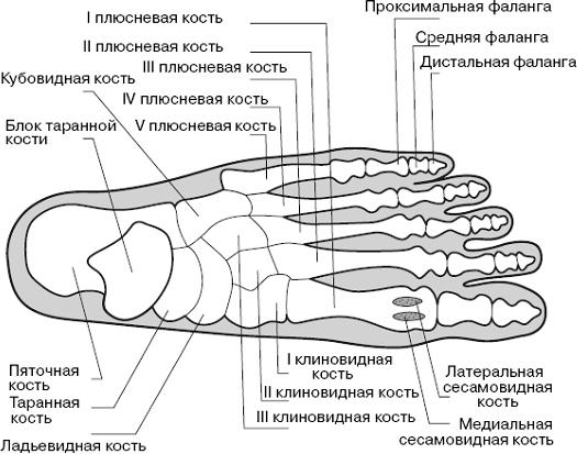 Строение плюсневой кости стопы